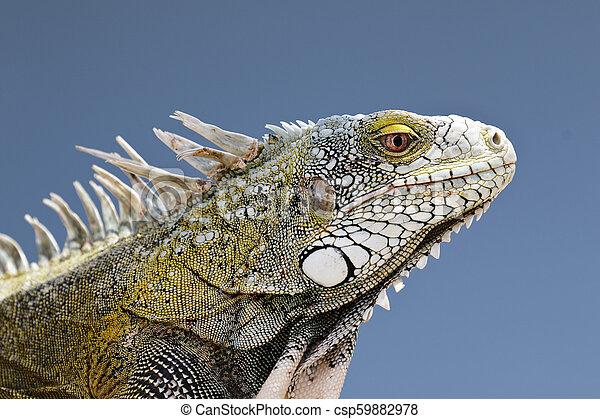 El primer plano de una iguana verde - csp59882978