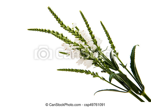 Veronica Flower On A White Background