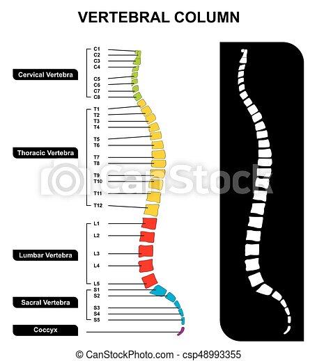 vertebral spalt, rygg, anatomi, diagram - csp48993355