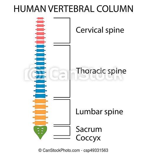 vertebral spalt, rygg, structure. - csp49331563