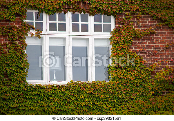 Vertical green ivy brick wall with window - csp39821561