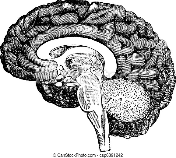 Vertical section of side view of a human brain vintage engraving vertical section of side view of a human brain vintage engraving csp6391242 ccuart Gallery