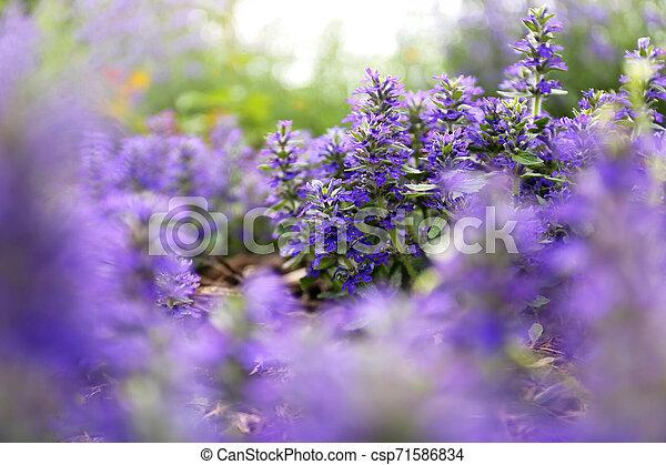 "verwischt, purpurroter hintergrund, ""bugleweed"", blumen, groundcover, ajuga - csp71586834"