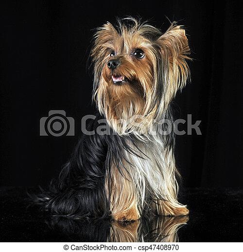 Very Nice Long Hair Yorkshire Terrier In Studio