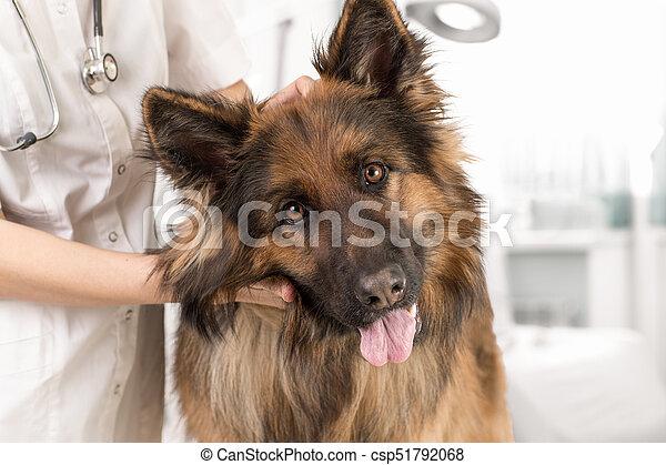 Examen de perros por veterinario - csp51792068