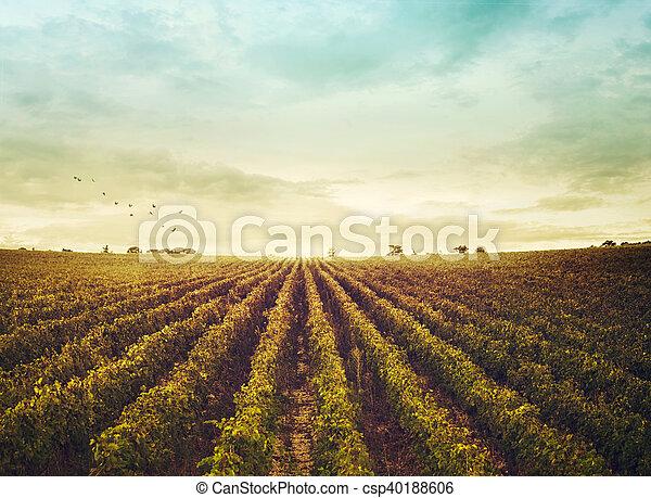 Vineyard en otoño - csp40188606