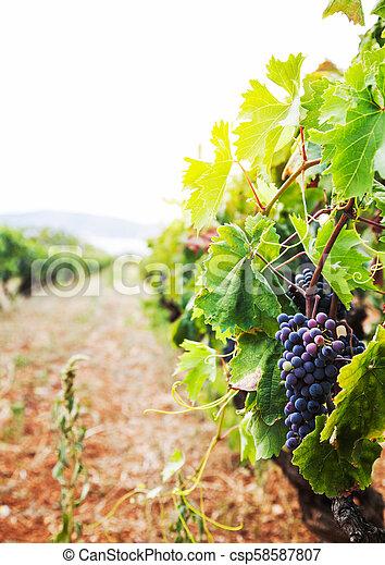 Vineyard en la cosecha de otoño - csp58587807