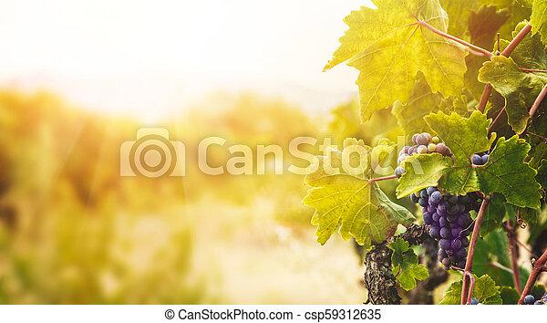 Vineyard en la cosecha de otoño - csp59312635