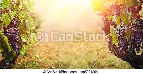 Vineyard en la cosecha de otoño - csp59312641