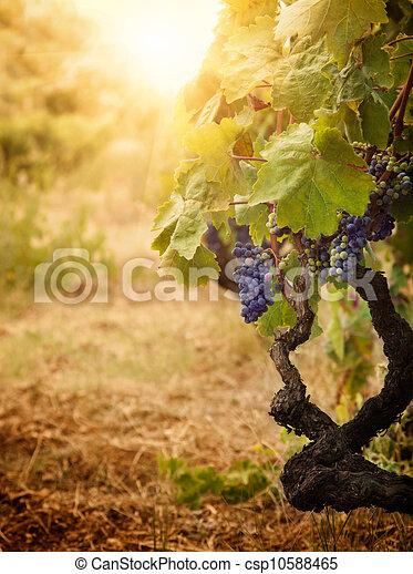 Vineyard en la cosecha de otoño - csp10588465