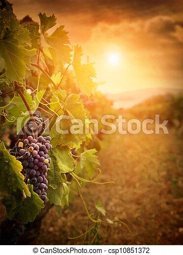 Vineyard en la cosecha de otoño - csp10851372