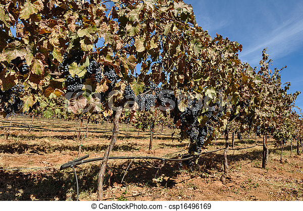 Vineyard en otoño - csp16496169