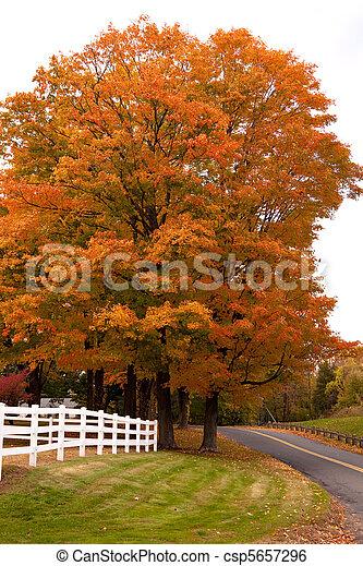 Vibrant Fall Foliage Maple Tree - csp5657296