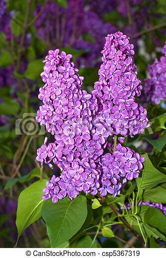 Vibrant Lilac  - csp5367319