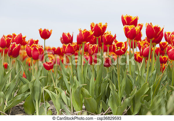 vibrant red tulips with yellow brims in dutch field - csp36829593