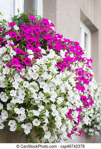 Vibrant white and pink petunia surfinia flowers wall mounted vibrant white and pink petunia surfinia flowers csp49742378 mightylinksfo