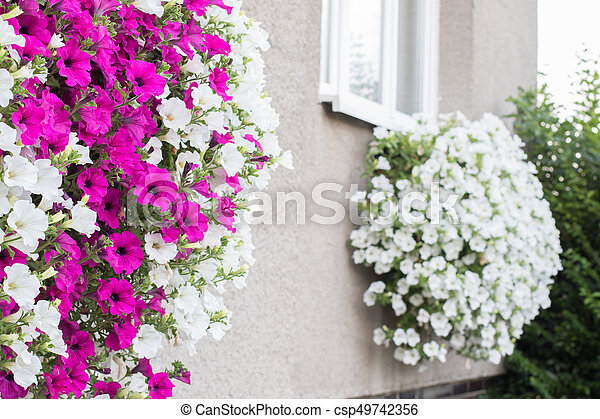 Vibrant white and pink petunia surfinia flowers wall mounted vibrant white and pink petunia surfinia flowers csp49742356 mightylinksfo
