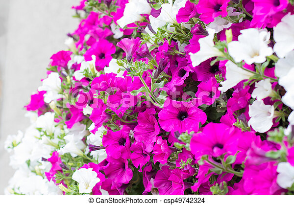 Vibrant white and pink petunia surfinia flowers detail of hanging vibrant white and pink petunia surfinia flowers csp49742324 mightylinksfo