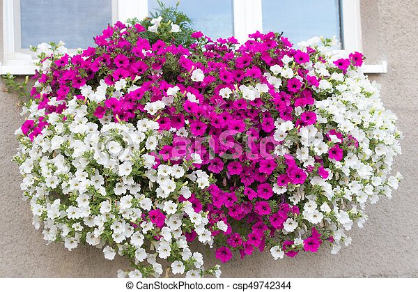 Vibrant white and pink petunia surfinia flowers wall mounted vibrant white and pink petunia surfinia flowers csp49742344 mightylinksfo