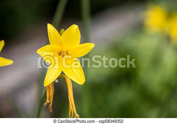 Vibrant yellow lilies in a summer garden - csp58349352