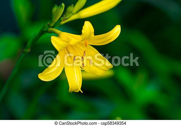 Vibrant yellow lilies in a summer garden - csp58349354