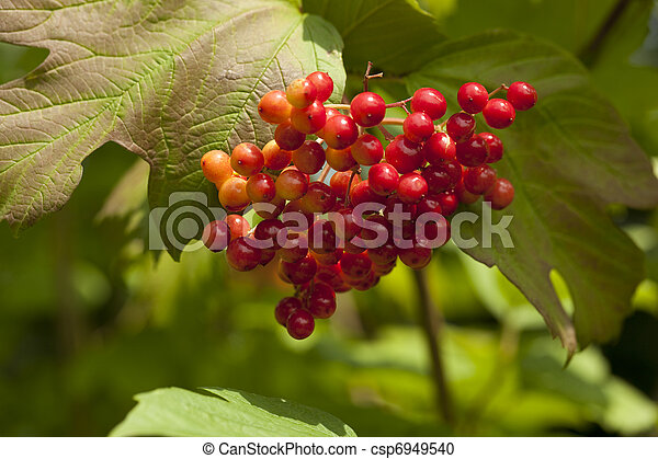 opulus viburnum viburnum arbre fruits rouges photographie de stock rechercher des images. Black Bedroom Furniture Sets. Home Design Ideas