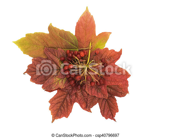 Viburnum berries and leaves isolated on white background. autumn Still Life - csp40796697