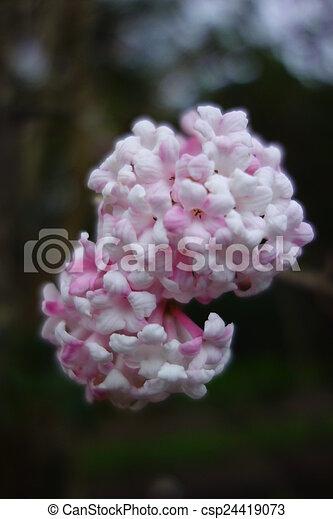 Viburnum bodnantense flowers pink buds and white flowers of pink buds and white flowers of viburnum x bodnantense mightylinksfo