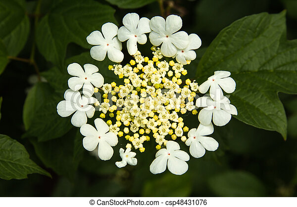 Viburnum white flowers in a garden top view