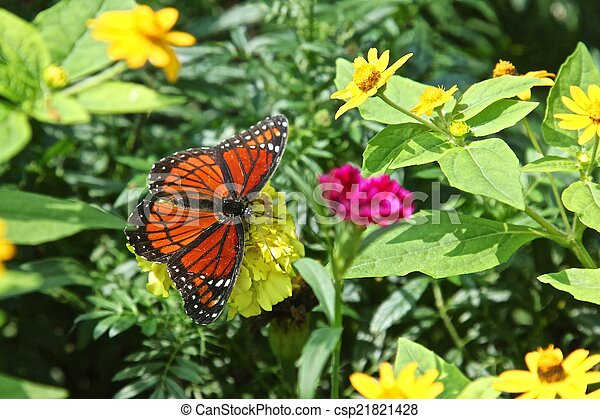 Viceroy butterfly - csp21821428