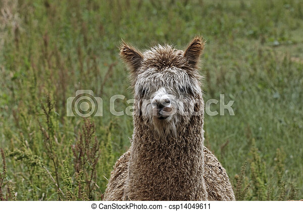 Vicugna pacos, Alpaca, Paco - csp14049611
