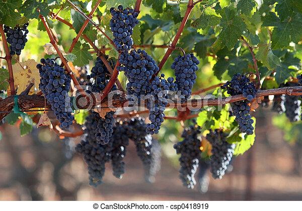 Uvas en una vid - csp0418919