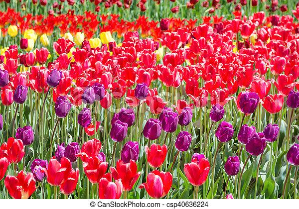 Viele bunte Tulpen - csp40636224