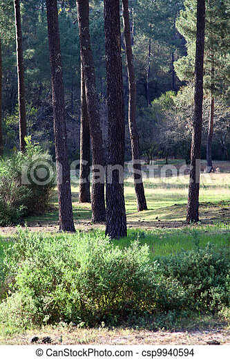 View of pine trees forest - csp9940594