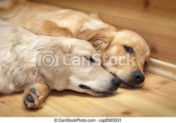 View of two dogs lying - csp8565531