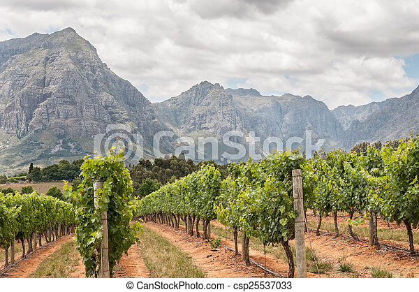 View of vineyards near Stellenbosch - csp25537033