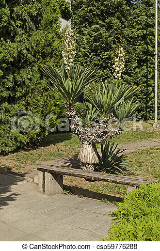 View of white Yucca plant or Agave cactus in bloom at garden