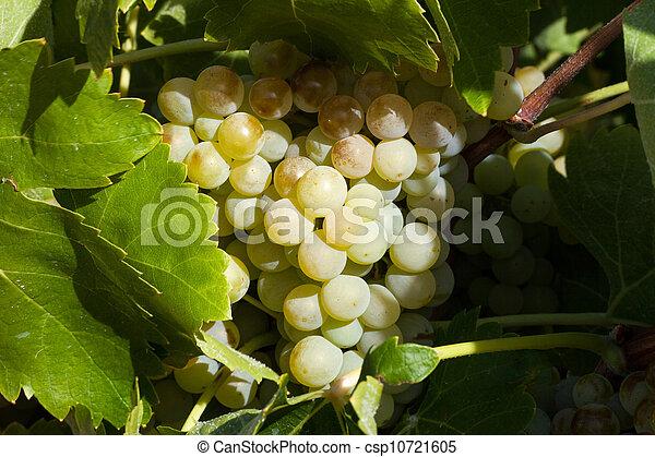 vigne - csp10721605