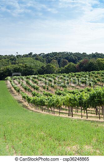 vignoble, colline - csp36248865