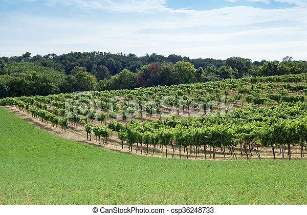 vignoble, colline - csp36248733