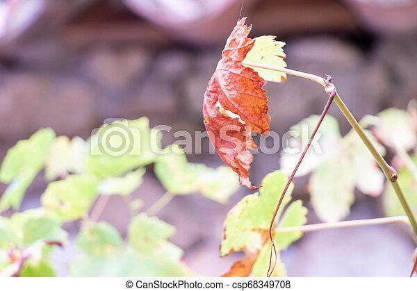 vignoble, feuilles automne, raisin, francais - csp68349708