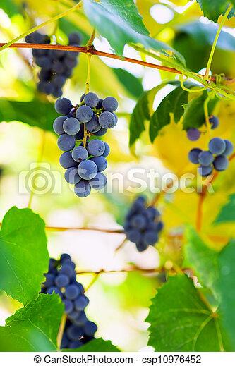 vignoble, tas, raisins - csp10976452