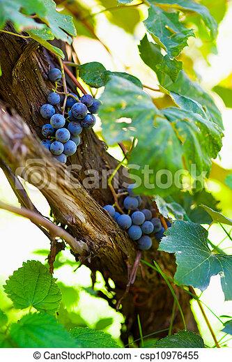 vignoble, tas, raisins - csp10976455