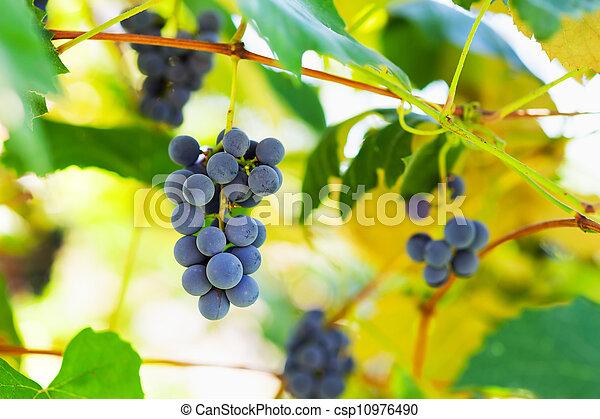 vignoble, tas, raisins - csp10976490