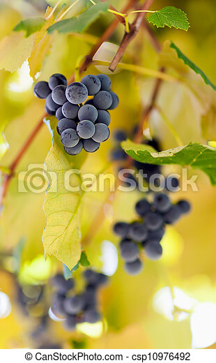 vignoble, tas, raisins - csp10976492