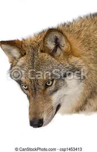 vild, forrest, ulv - csp1453413