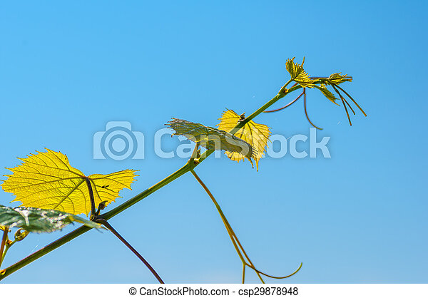 Vine leaves tendrils on blue sky - csp29878948