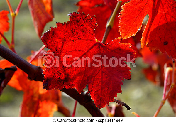vines in autumn - csp13414949