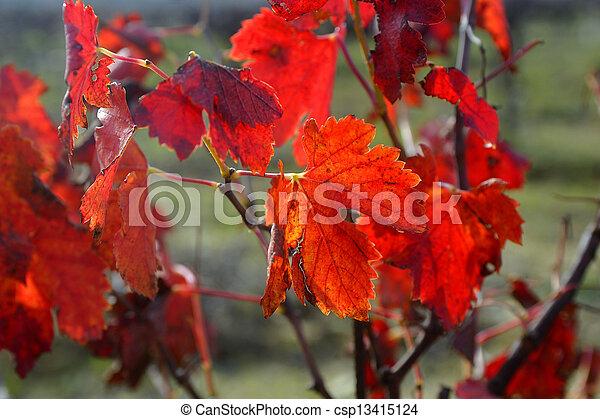 vines in autumn - csp13415124
