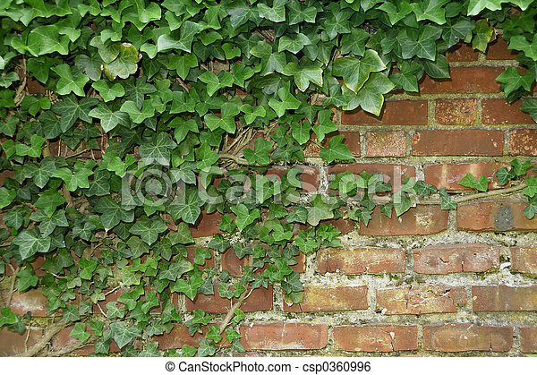 Ivory Vines Growing On A Brick Wall